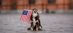 A patriotic dog holds the American Flag in its mouth.