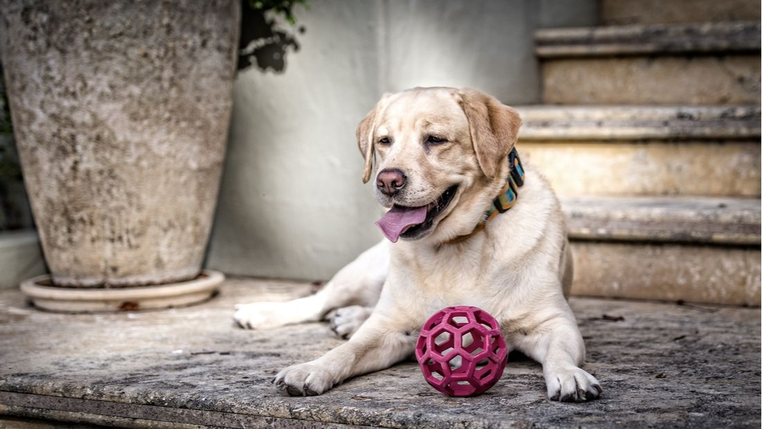 An aging dog relaxes on the porch with a ball.
