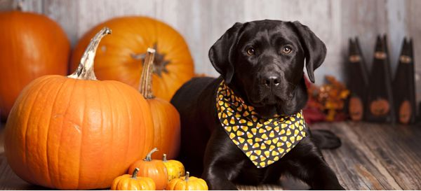 A black lab wearing a candy corn bandana sits next to some pumpkins.