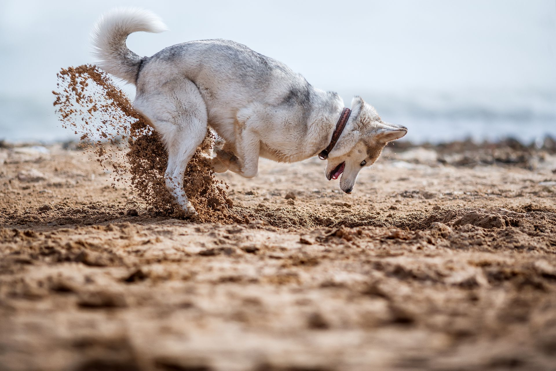 A husky digs a hole in the sand.
