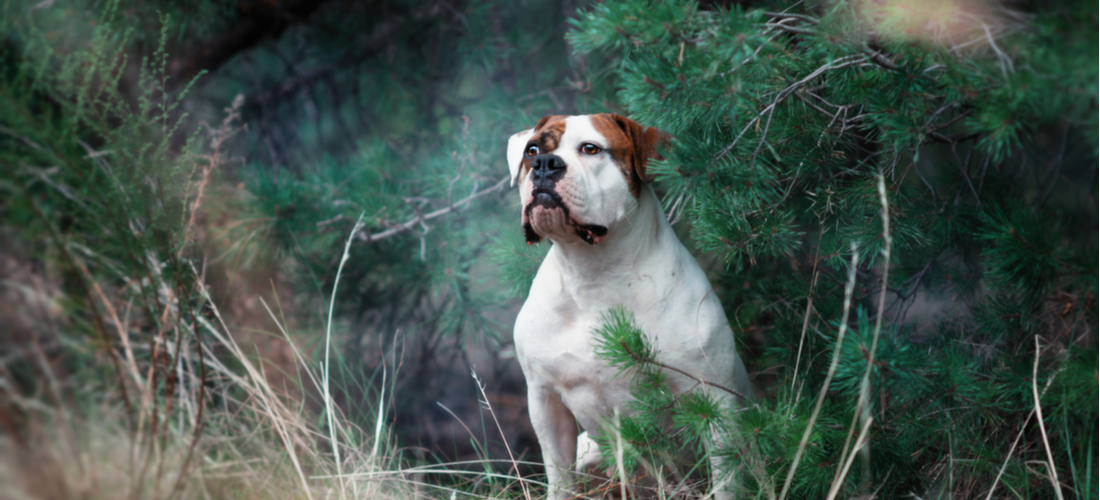 An American Bulldog poses in the forest.