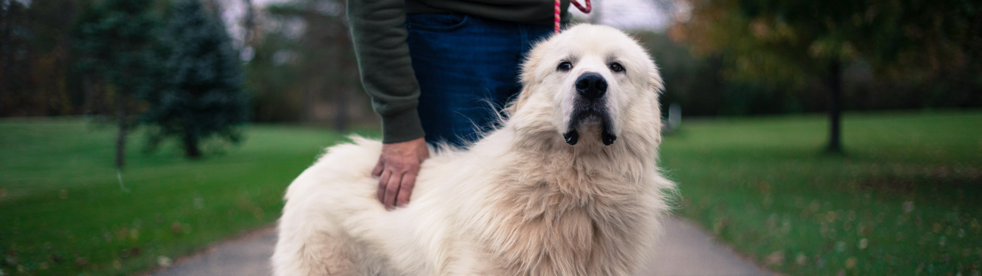 A Great Pyrenees with their owner.