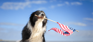 A patriotic Border Collie waving the American Flag.