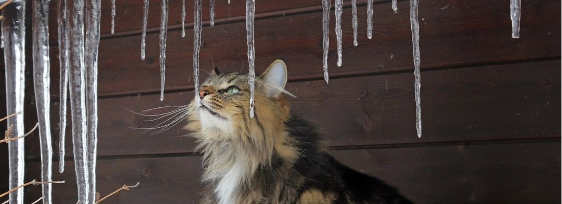 An outdoor cat in danger during the winter months.