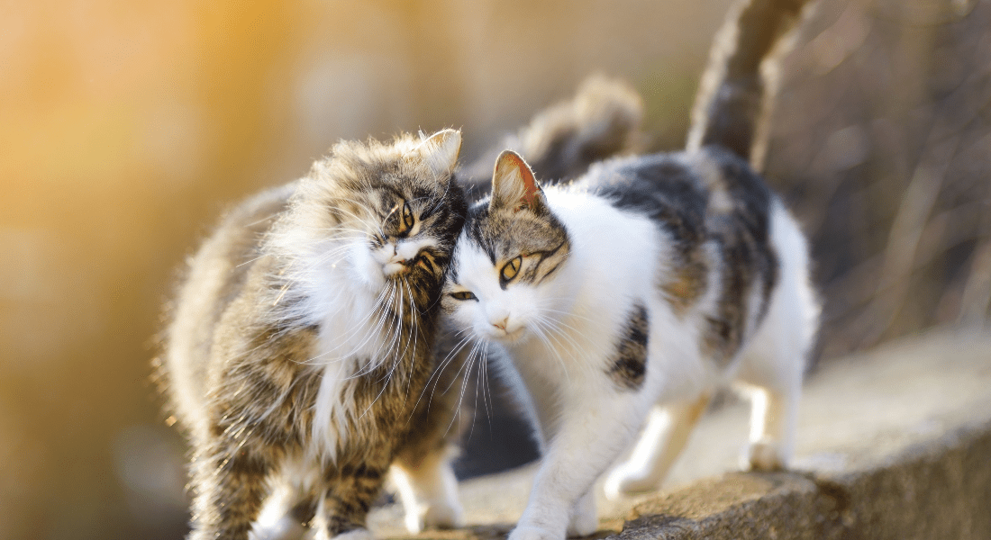 Two cat friends rub heads while walking along a raised wall.