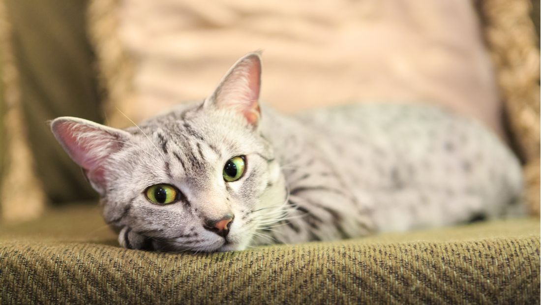 Egyptian Mau relaxes on a couch.