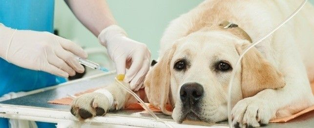 Chemotherapy Treatment Procedure for Dogs