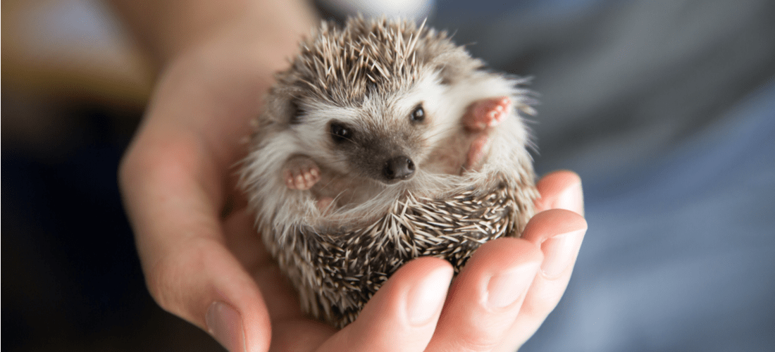These tiny hedgehogs are the cutest things on Instagram.
