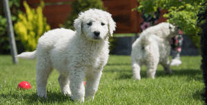 Choosing a Kuvasz Puppy