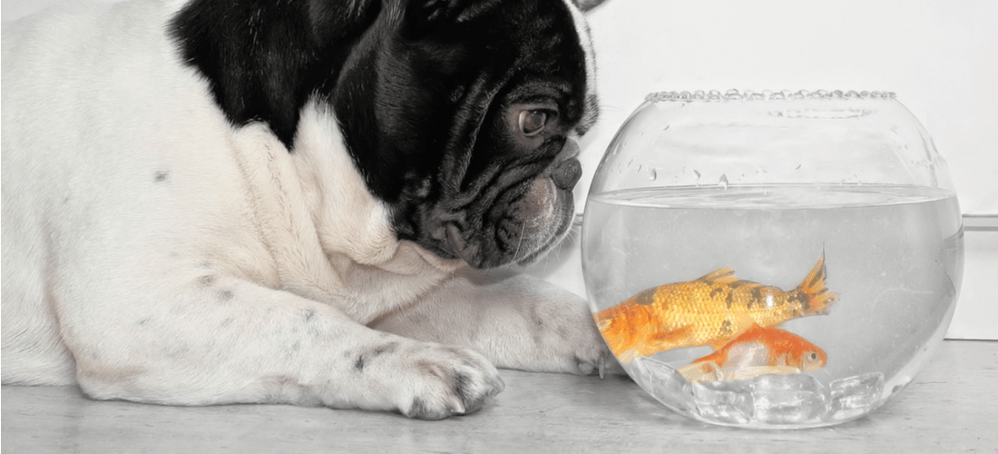 This dog wants to turn the pet fish into seafood.