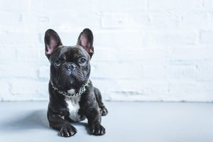 A black french bulldog lies in front of a brick wall.
