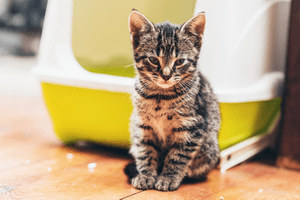 A sick-looking cat sits outside of a yellow litter box with a white lid.