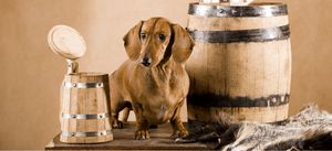 A Dachshund with a beer stein and keg of beer.