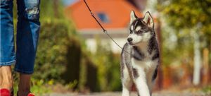 A Husky puppy goes for their first walk with their pet parent.