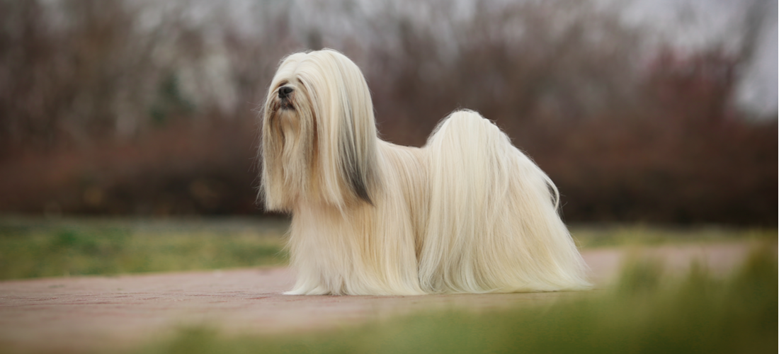 A white Lhasa Apso with long hair poses in a natural setting.