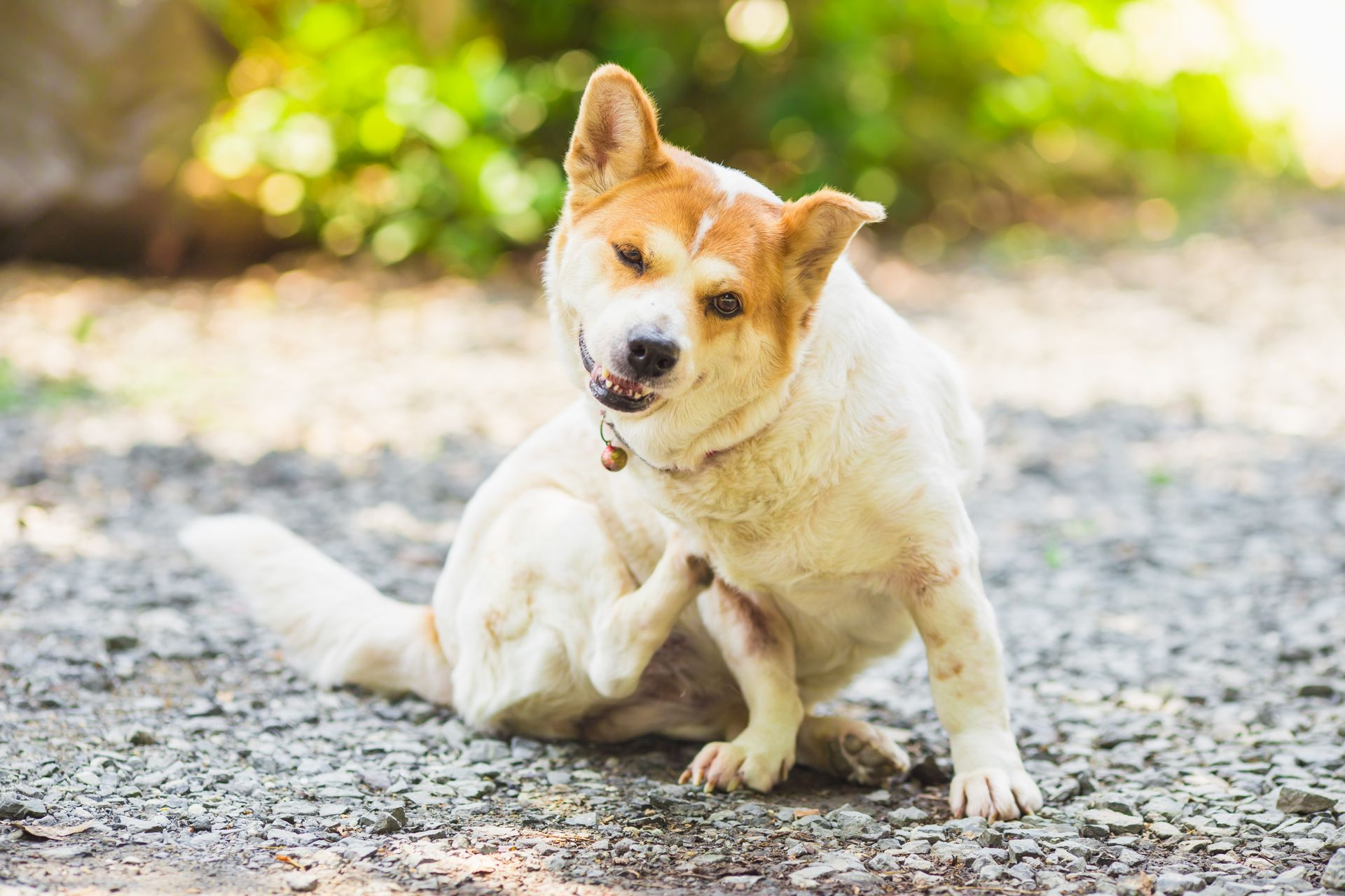 atopy in dogs