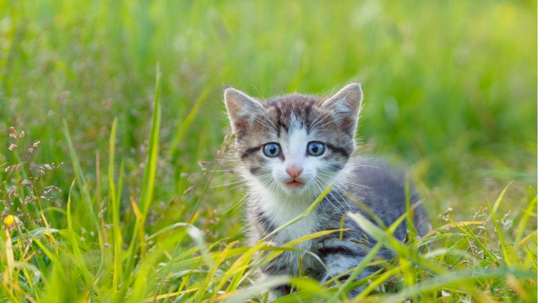 Kitten Plays in the Grass