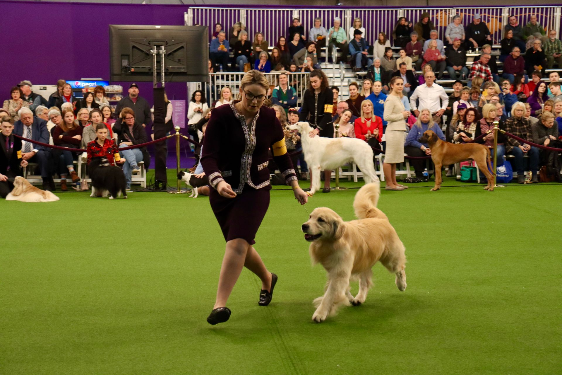 Dog trots in competition.