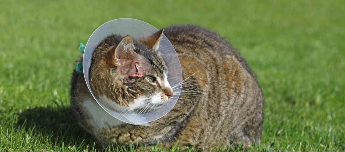 A cat wearing an e-collar sits in the grass.