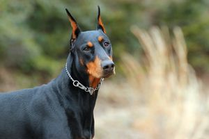 doberman temperament