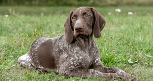 Selecting a German Shorthaired Pointer