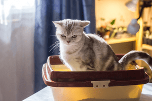 A sick-looking, white cat uses a litter box.