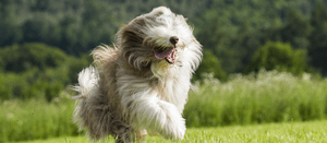 Picking a Bearded Collie Puppy
