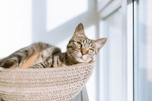 A grey cat sits in a basket and stares on a sunlit window.