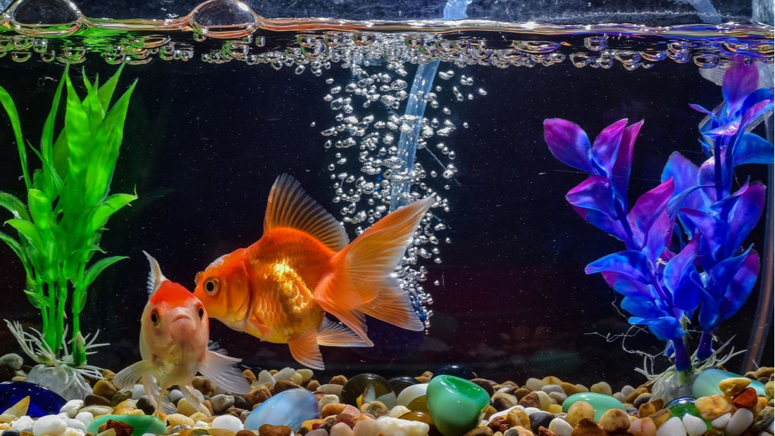 What Do Bubbles In My Fish Tank Mean Petplace