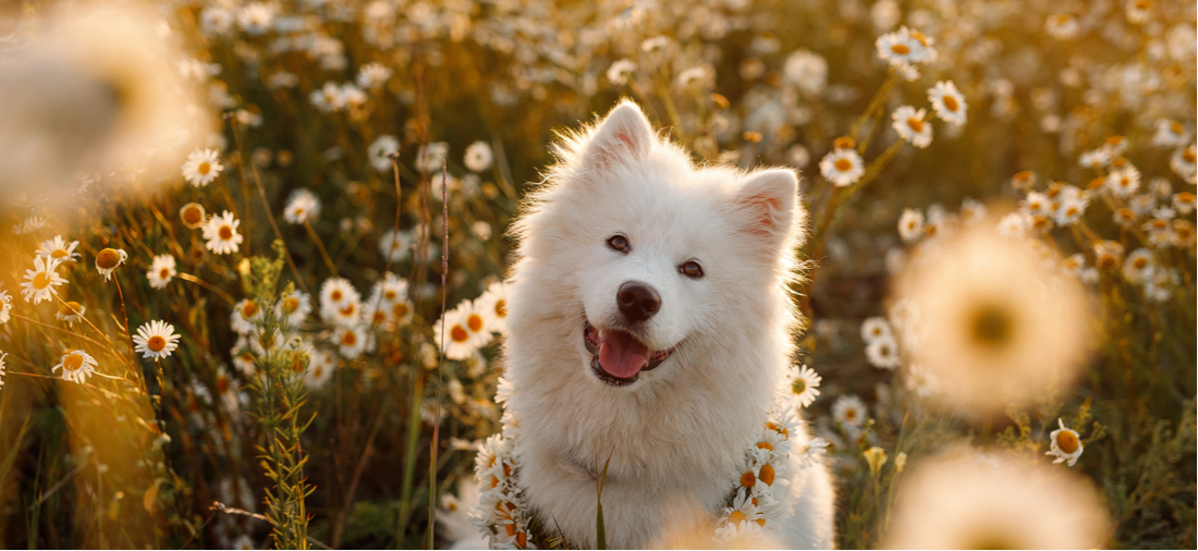 A smiling Samoyed dog in a flower patch.