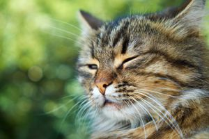 mammary gland swelling in cats