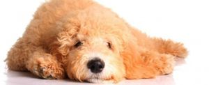 diseases and conditions of goldendoodles