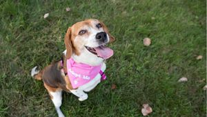 A happy dog in a pink bandana.