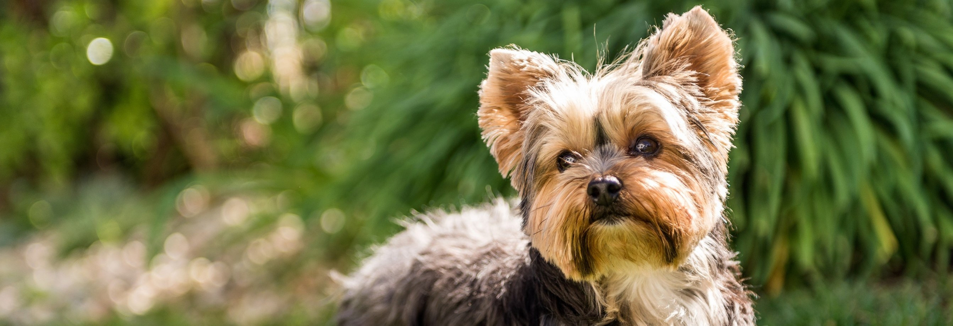 A portrait of a Yorkshire Terrier.