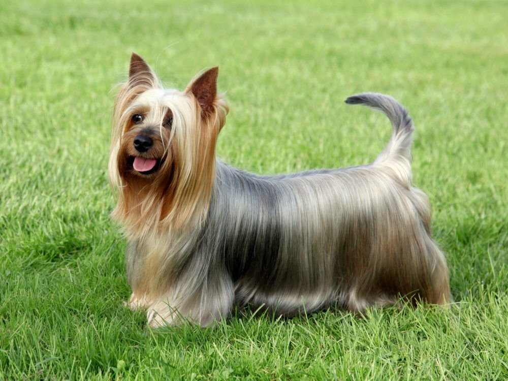 Selecting a Silky Terrier