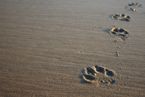 A dog's paw prints in the sand.