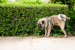 A Dog Lifts Its Leg to Urinate Against a Line of Hedges