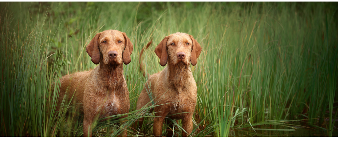 Two Vizsla dogs standing in the water and high grass.