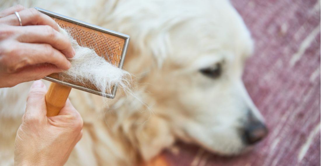 A golden retriever with hair loss gets combed by his owner.