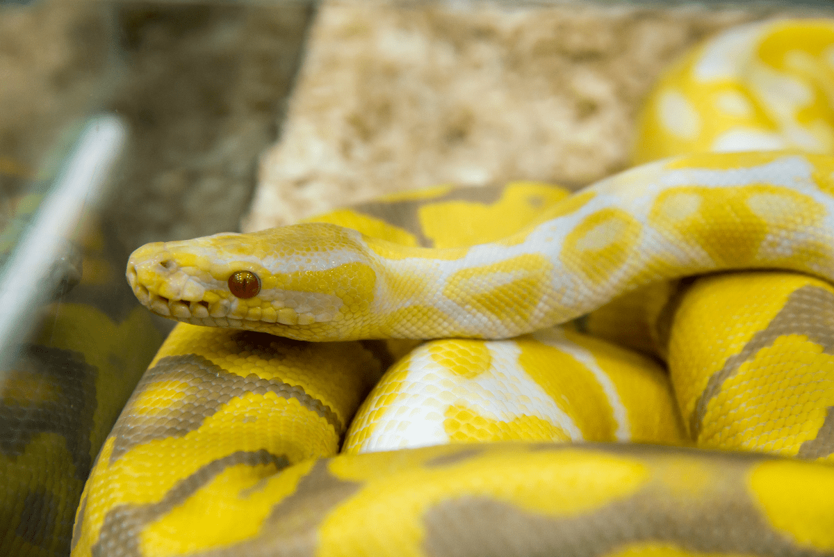 A pale yellow-and-brown snake with red eyes.