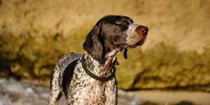 A German Shorthaired Pointer facing right.