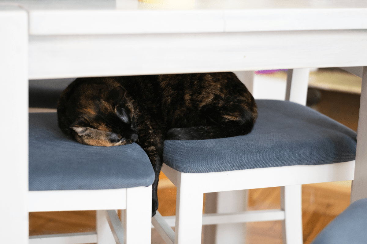 A black-and-brown cat sleeping across two chair underneath a table.