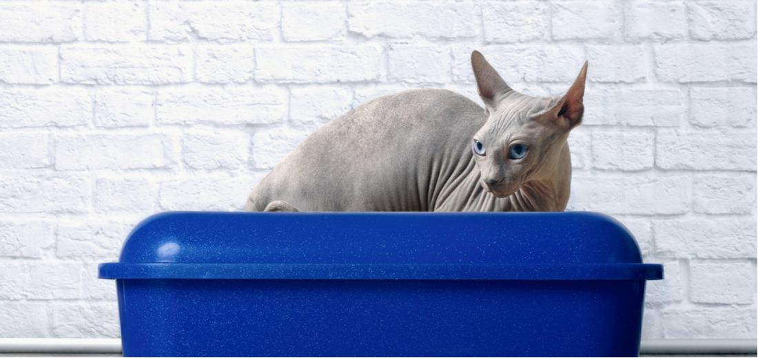A sphinx cat sits in a blue litter box.