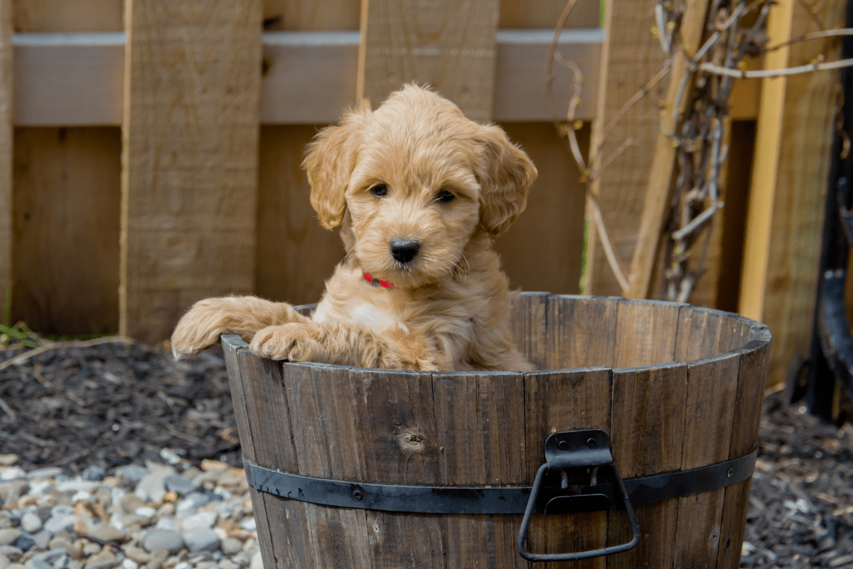 A Goldendoodle puppy poses in a wooden bucket.