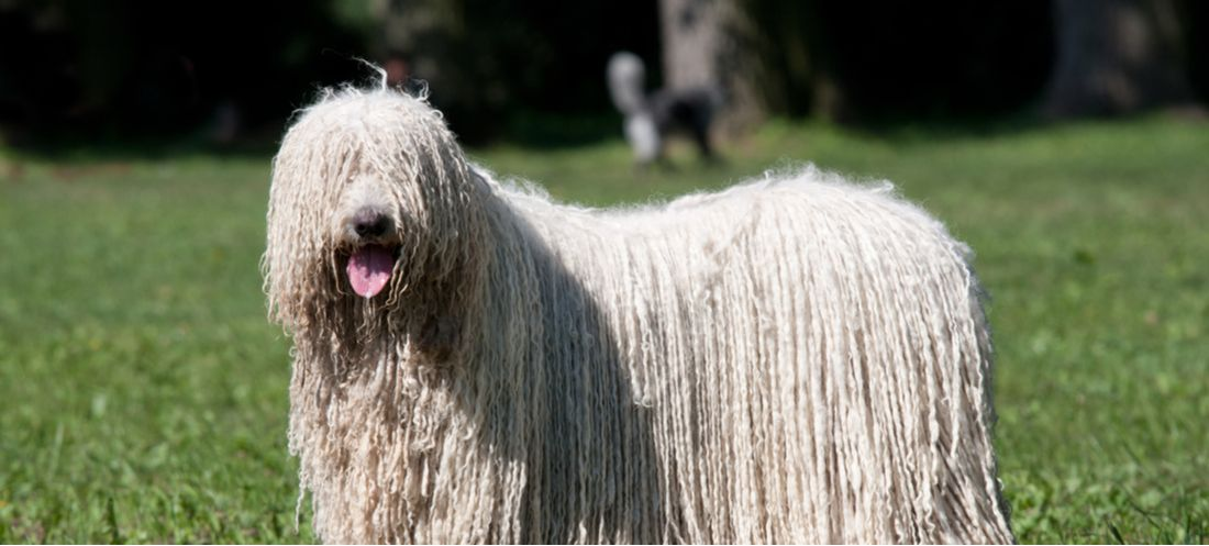 A Komondor, a member of the AKC's Working Group, plays in the park.