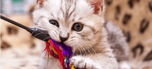 A teething kitten gnaws on a multi-colored chew toy.