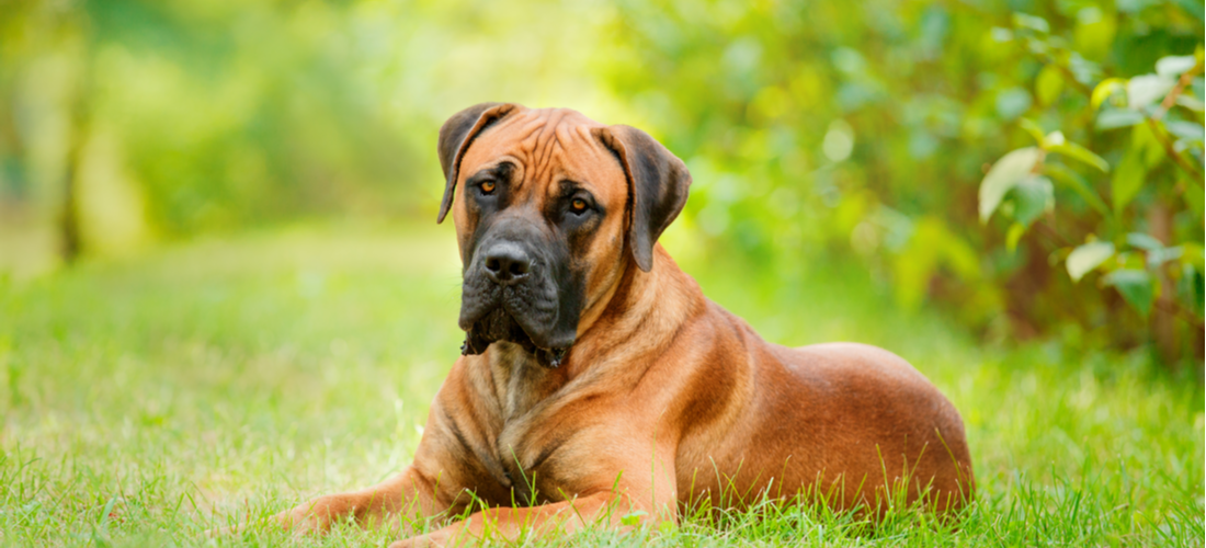 A brown Boerboel dog rests in the grass.