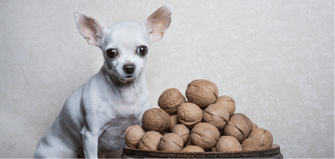 A Chihuahua sits next to a bowl of walnuts.