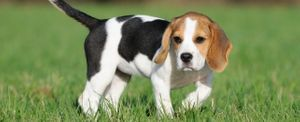 names for beagles