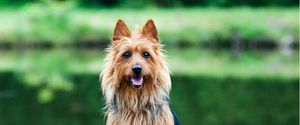 Physical appearance and personality traits of the Australian Terrier.